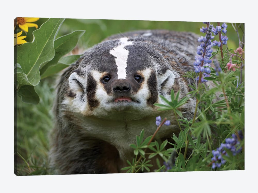 American Badger Amid Lupine, North America by Tim Fitzharris 1-piece Art Print