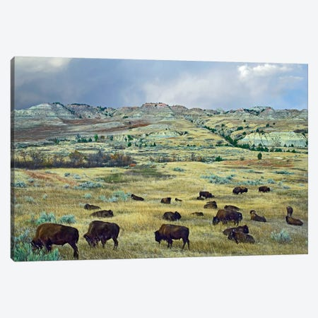 American Bison Herd Grazing On Shortgrass Praire Near Scoria Point, Theodore Roosevelt National Park, North Dakota I Canvas Print #TFI33} by Tim Fitzharris Canvas Art Print