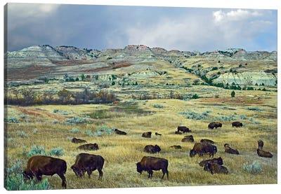 American Bison Herd Grazing On Shortgrass Praire Near Scoria Point, Theodore Roosevelt National Park, North Dakota I Canvas Art Print