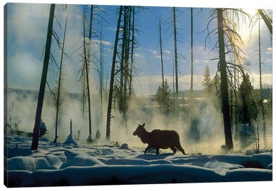 Elk Female In The Snow With Steam Rising From Nearby Hot Spring, Yellowstone National Park, Wyoming Canvas Art Print