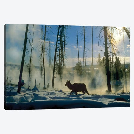 Elk Female In The Snow With Steam Rising From Nearby Hot Spring, Yellowstone National Park, Wyoming Canvas Print #TFI341} by Tim Fitzharris Canvas Print