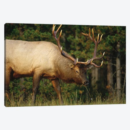 Elk Grazing, North America Canvas Print #TFI342} by Tim Fitzharris Canvas Print