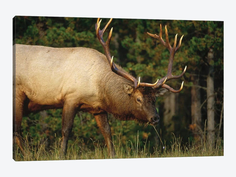 Elk Grazing, North America by Tim Fitzharris 1-piece Canvas Artwork