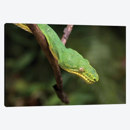 Emerald Tree Boa In Tree, Costa Rica Canvas Print #TFI346} by Tim Fitzharris Canvas Artwork