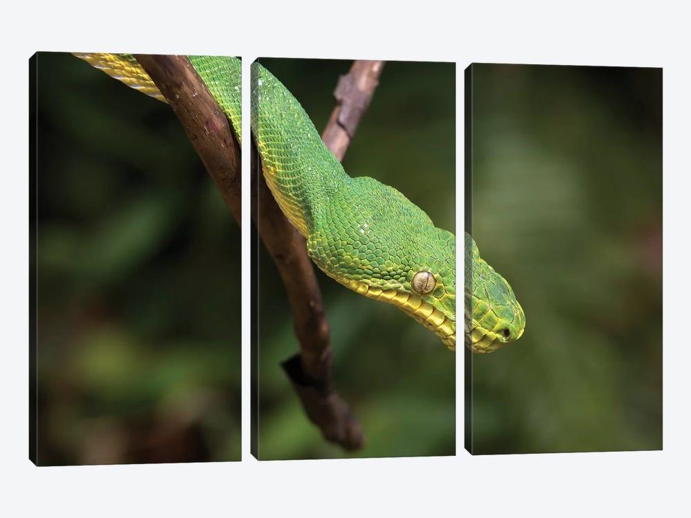Emerald Tree Boa In Tree, Costa Rica by Tim Fitzharris 3-piece Canvas Art