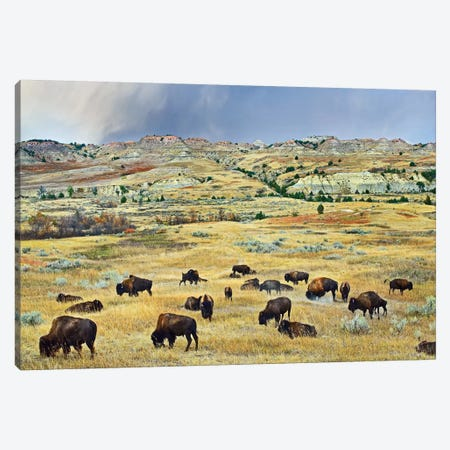 American Bison Herd Grazing On Shortgrass Praire Near Scoria Point, Theodore Roosevelt National Park, North Dakota II Canvas Print #TFI34} by Tim Fitzharris Canvas Wall Art