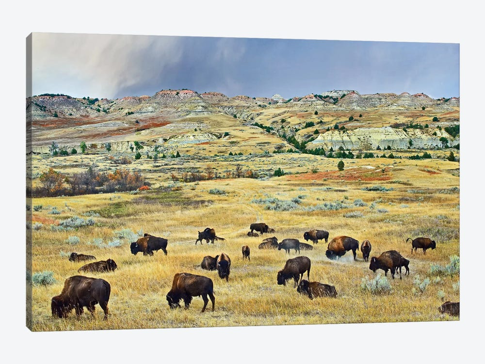 American Bison Herd Grazing On Shortgrass Praire Near Scoria Point, Theodore Roosevelt National Park, North Dakota II by Tim Fitzharris 1-piece Canvas Print