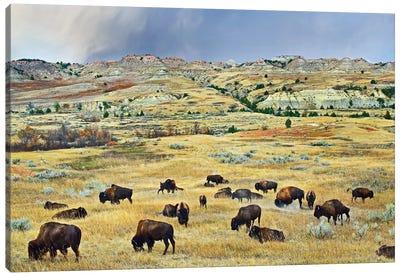 American Bison Herd Grazing On Shortgrass Praire Near Scoria Point, Theodore Roosevelt National Park, North Dakota II Canvas Art Print