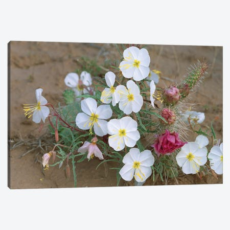 Evening Primrose With Grizzly Bear Cactus, North America Canvas Print #TFI352} by Tim Fitzharris Canvas Art