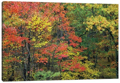 Fall Foliage At Fishers Gap, Shenandoah National Park, Virginia Canvas Art Print
