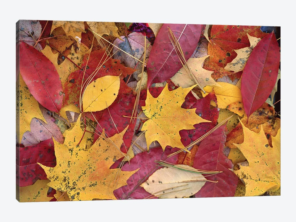 Fall-Colored Maple, Sourwood And Cherry Leaves On Ground, Great Smoky Mountains National Park, Tennessee 1-piece Art Print