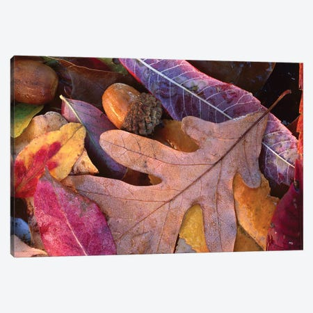 Fall-Colored Oak, Cherry And Sumac Leaves On Ground With Acorns, Petit Jean State Park, Arkansas Canvas Print #TFI359} by Tim Fitzharris Canvas Art