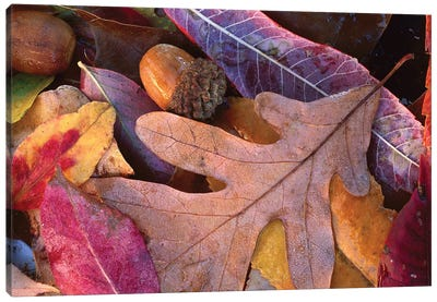 Fall-Colored Oak, Cherry And Sumac Leaves On Ground With Acorns, Petit Jean State Park, Arkansas Canvas Art Print