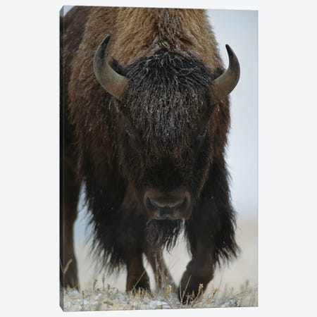 American Bison In Snow, North America Canvas Print #TFI35} by Tim Fitzharris Canvas Wall Art