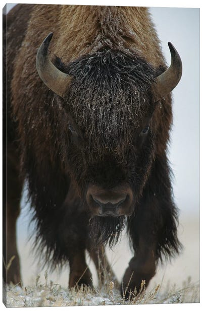 American Bison In Snow, North America Canvas Art Print