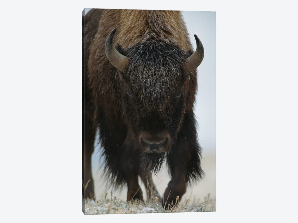 American Bison In Snow, North America by Tim Fitzharris 1-piece Canvas Art