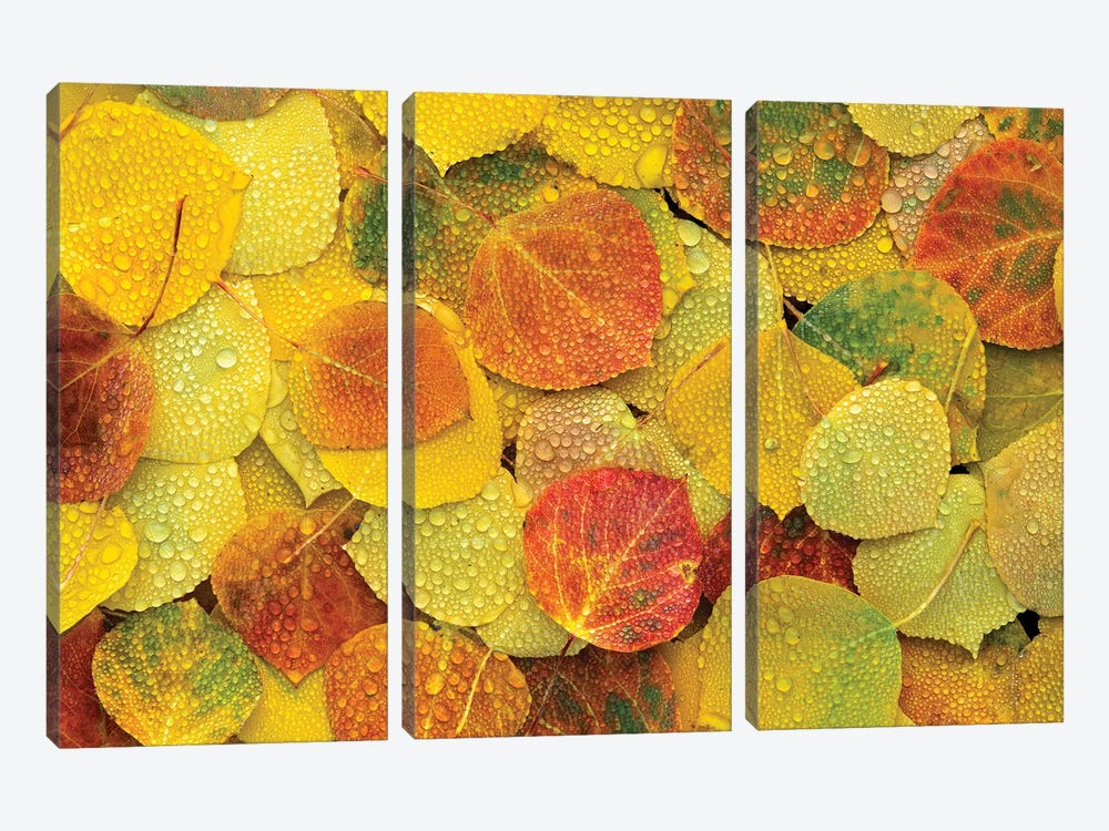 Fallen Autumn Colored Aspen Leaves On The Ground Covered In Dew Droplets, Colorado by Tim Fitzharris 3-piece Canvas Art Print