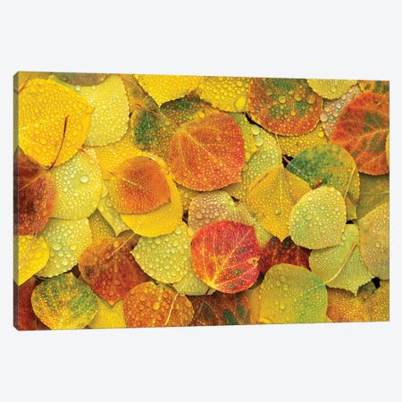 Fallen Autumn Colored Aspen Leaves On The Ground Covered In Dew Droplets, Colorado Canvas Print #TFI361} by Tim Fitzharris Canvas Print