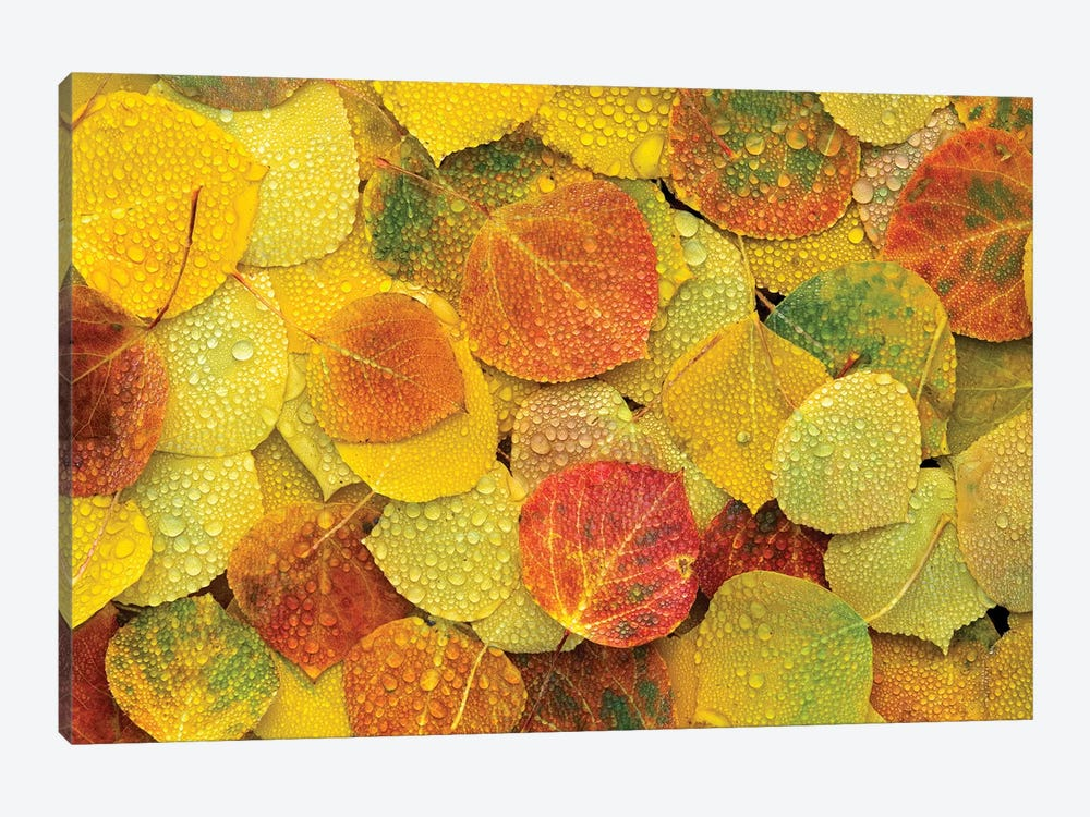 Fallen Autumn Colored Aspen Leaves On The Ground Covered In Dew Droplets, Colorado by Tim Fitzharris 1-piece Canvas Art Print
