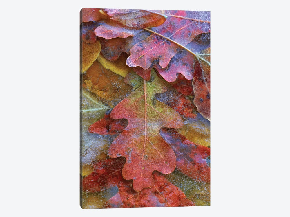 Fallen Autumn Colored Oak Leaves Frozen On The Ground by Tim Fitzharris 1-piece Canvas Art
