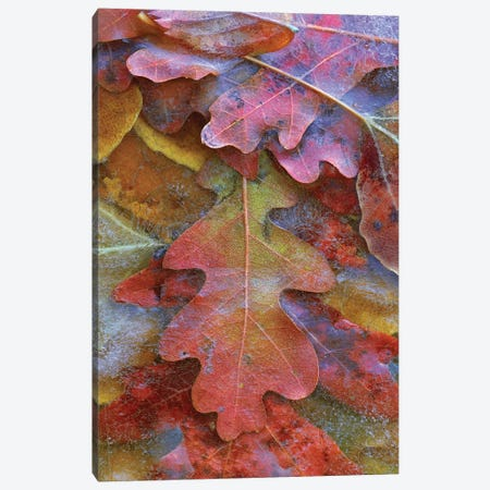 Fallen Autumn Colored Oak Leaves Frozen On The Ground Canvas Print #TFI362} by Tim Fitzharris Canvas Art Print