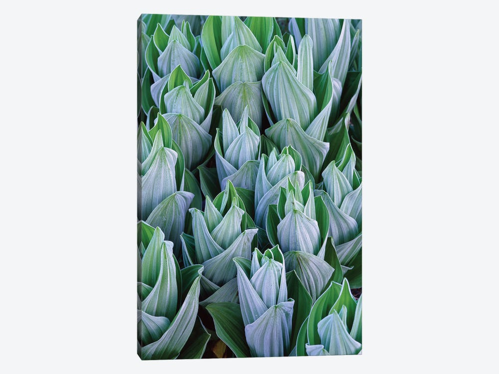 False Hellebore With Frost, Gothic, Colorado by Tim Fitzharris 1-piece Canvas Wall Art
