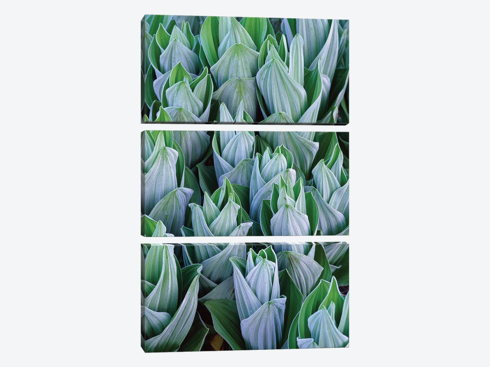 False Hellebore With Frost, Gothic, Colorado by Tim Fitzharris 3-piece Canvas Art