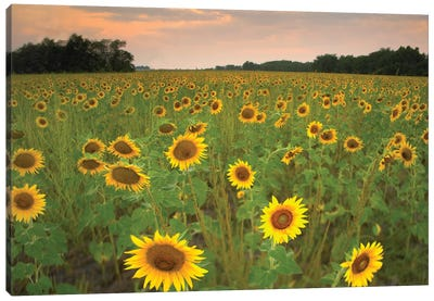 Field Of Sunflowers, Flint Hills National Wildlife Refuge, Kansas Canvas Art Print