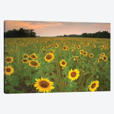 Field Of Sunflowers, Flint Hills National Wildlife Refuge, Kansas Canvas Print #TFI365} by Tim Fitzharris Canvas Art