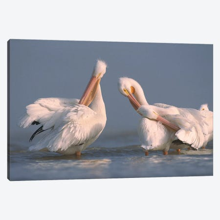 American White Pelican Pair Preening In Shallow Water, Texas Coast, Texas Canvas Print #TFI36} by Tim Fitzharris Canvas Artwork