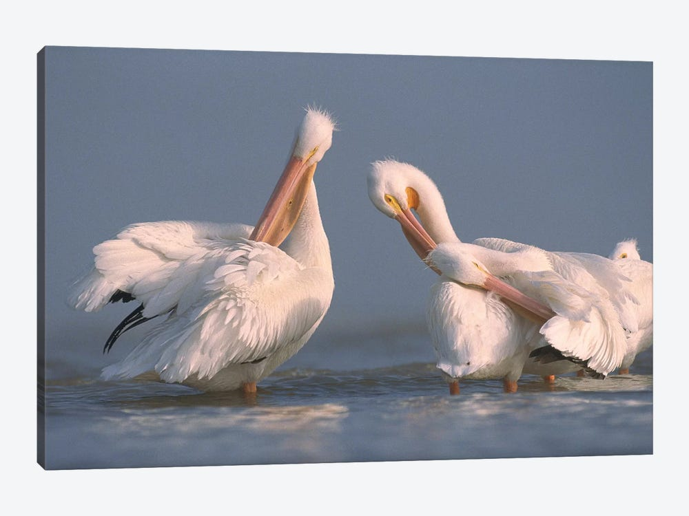 American White Pelican Pair Preening In Shallow Water, Texas Coast, Texas by Tim Fitzharris 1-piece Canvas Print