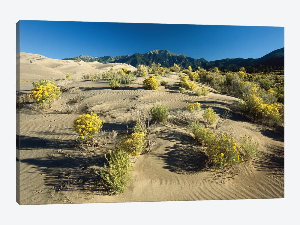 Flowering Shrubs On The Dune Fields In Front Of The Sangre De Cristo Mountains, Great Sand Dunes National Monument, Colorado by Tim Fitzharris 1-piece Canvas Print