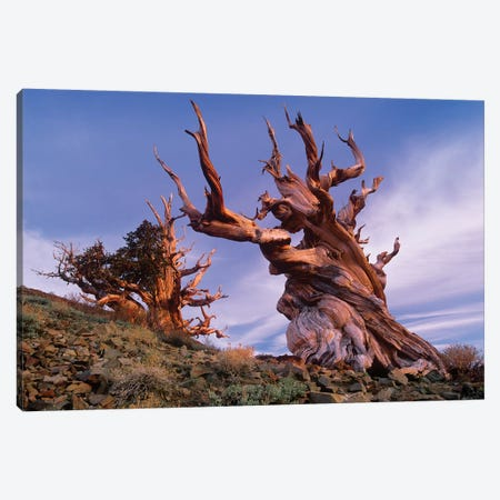 Foxtail Pine Tree, Known As Methuselah, Is Over 4800 Years Old, White Mountains, Inyo National Forest, California Canvas Print #TFI373} by Tim Fitzharris Canvas Artwork