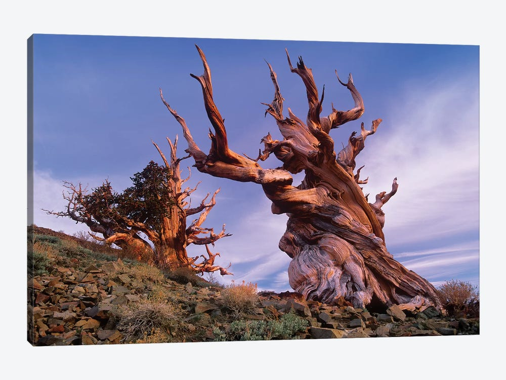 Foxtail Pine Tree, Known As Methuselah, Is Over 4800 Years Old, White Mountains, Inyo National Forest, California by Tim Fitzharris 1-piece Canvas Artwork