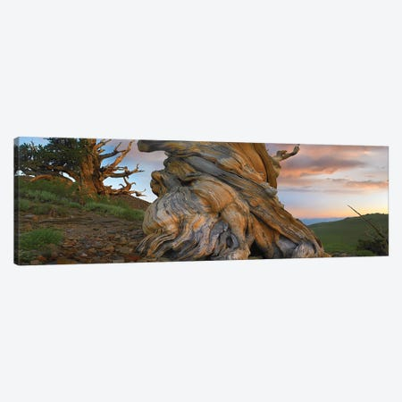 Foxtail Pine Tree, Twisted Trunk Of An Ancient Tree, Sierra Nevada, California I Canvas Print #TFI374} by Tim Fitzharris Canvas Art Print