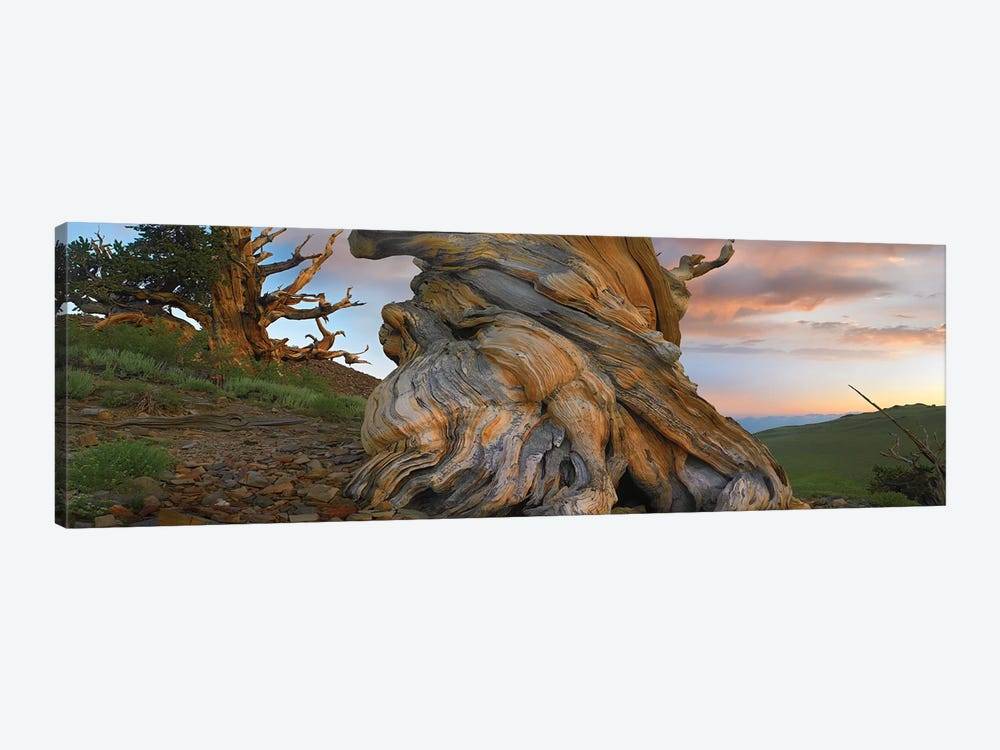 Foxtail Pine Tree, Twisted Trunk Of An Ancient Tree, Sierra Nevada, California I by Tim Fitzharris 1-piece Canvas Print