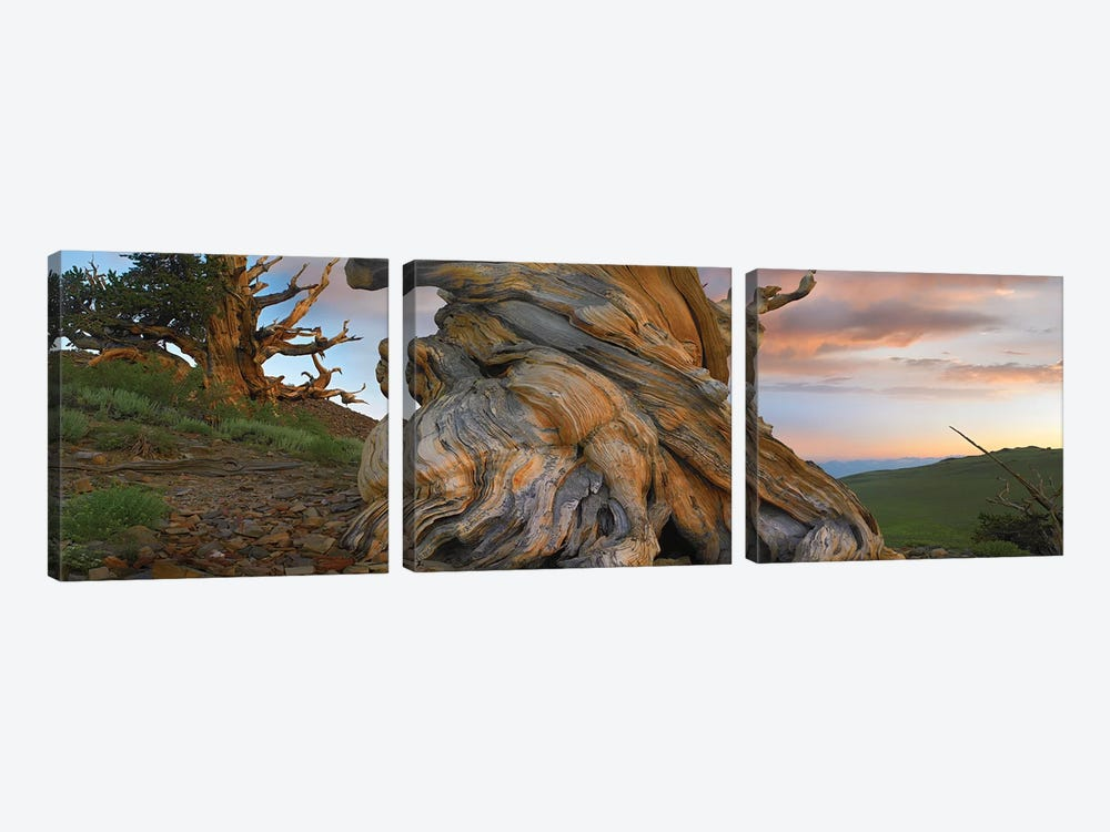 Foxtail Pine Tree, Twisted Trunk Of An Ancient Tree, Sierra Nevada, California I by Tim Fitzharris 3-piece Canvas Print