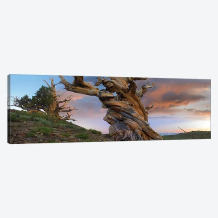 Foxtail Pine Tree, Twisted Trunk Of An Ancient Tree, Sierra Nevada, California II Canvas Print #TFI375} by Tim Fitzharris Canvas Print