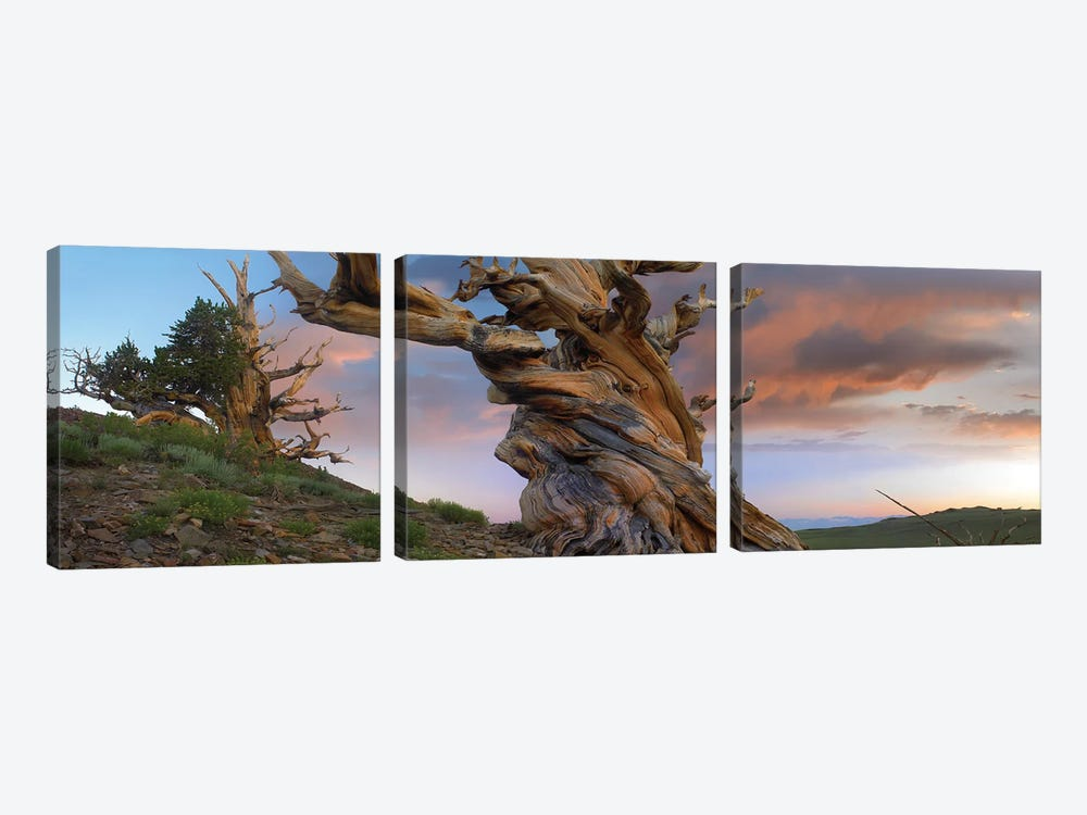 Foxtail Pine Tree, Twisted Trunk Of An Ancient Tree, Sierra Nevada, California II by Tim Fitzharris 3-piece Canvas Artwork