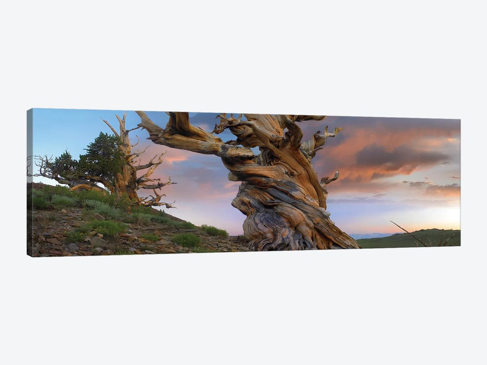 Foxtail Pine Tree, Twisted Trunk Of An Ancient Tree, Sierra Nevada, California II by Tim Fitzharris 1-piece Canvas Artwork