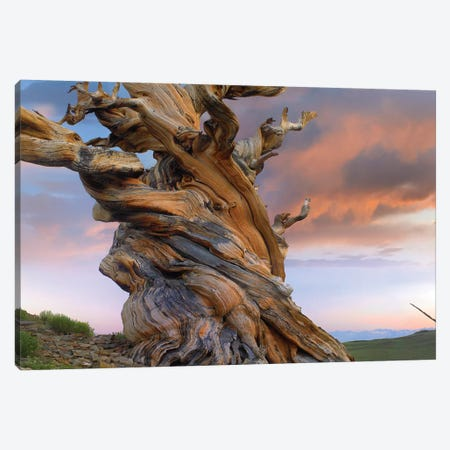 Foxtail Pine Tree, Twisted Trunk Of An Ancient Tree, Sierra Nevada, California III Canvas Print #TFI376} by Tim Fitzharris Canvas Print