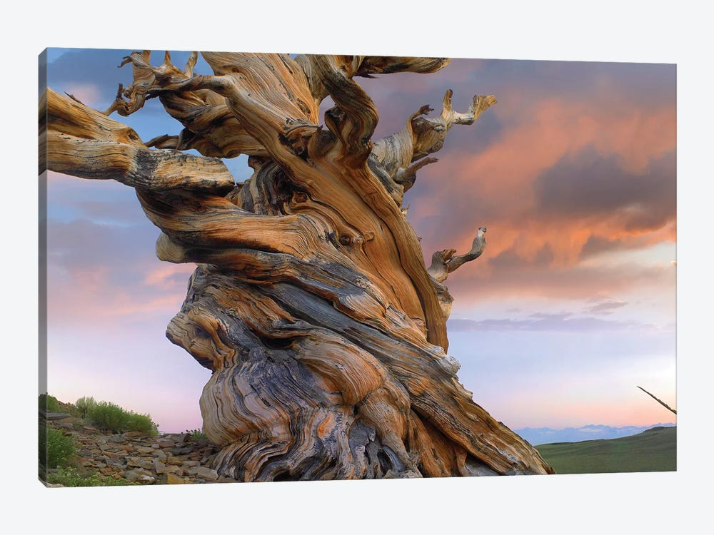 Foxtail Pine Tree, Twisted Trunk Of An Ancient Tree, Sierra Nevada, California III by Tim Fitzharris 1-piece Canvas Art Print