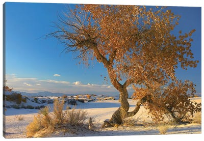 Fremont Cottonwood Tree Single Tree In Desert, White Sands National Monument, Chihuahuan Desert New Mexico Canvas Art Print