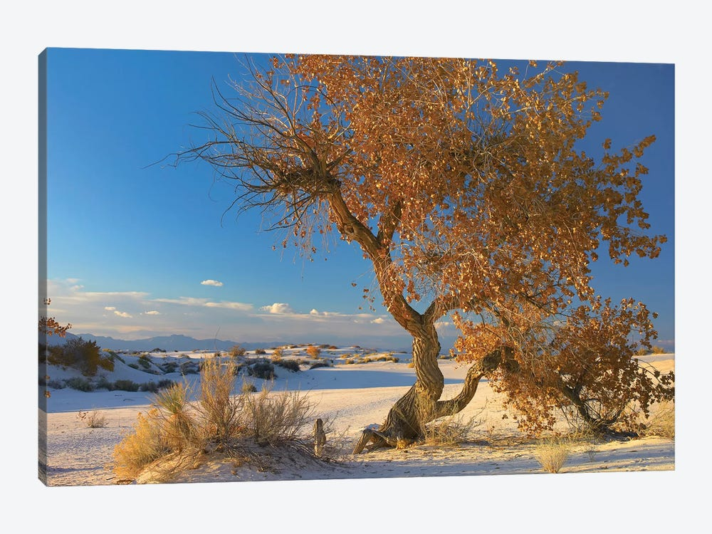 Fremont Cottonwood Tree Single Tree In Desert, White Sands National Monument, Chihuahuan Desert New Mexico by Tim Fitzharris 1-piece Canvas Wall Art