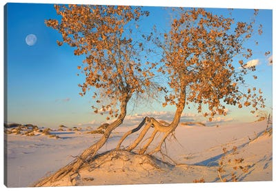 Fremont Cottonwood Trees Growing In The Chihuahuan Desert At White Sands National Monument, New Mexico Canvas Art Print