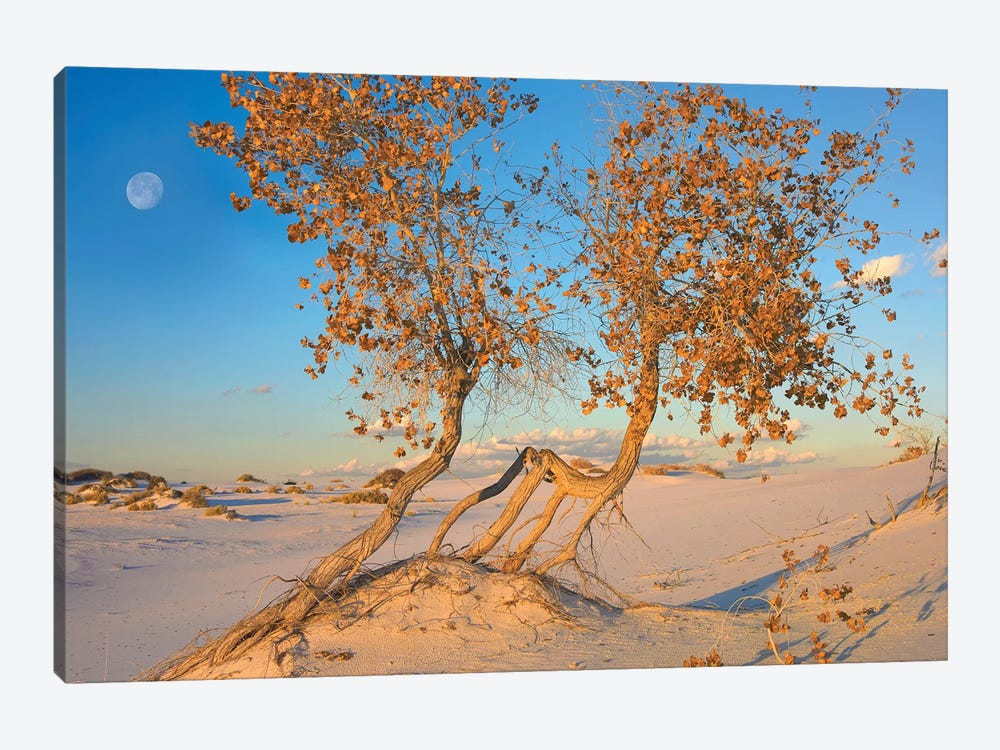 Fremont Cottonwood Trees Growing In The Chihuahuan Desert At White Sands National Monument, New Mexico by Tim Fitzharris 1-piece Canvas Print