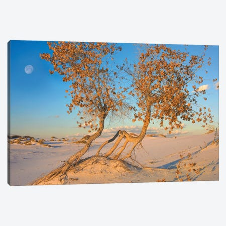 Fremont Cottonwood Trees Growing In The Chihuahuan Desert At White Sands National Monument, New Mexico Canvas Print #TFI378} by Tim Fitzharris Canvas Wall Art