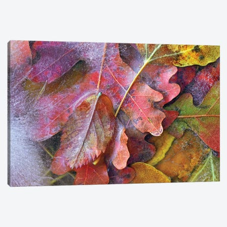 Frozen Autumn Leaves, North America Canvas Print #TFI380} by Tim Fitzharris Art Print