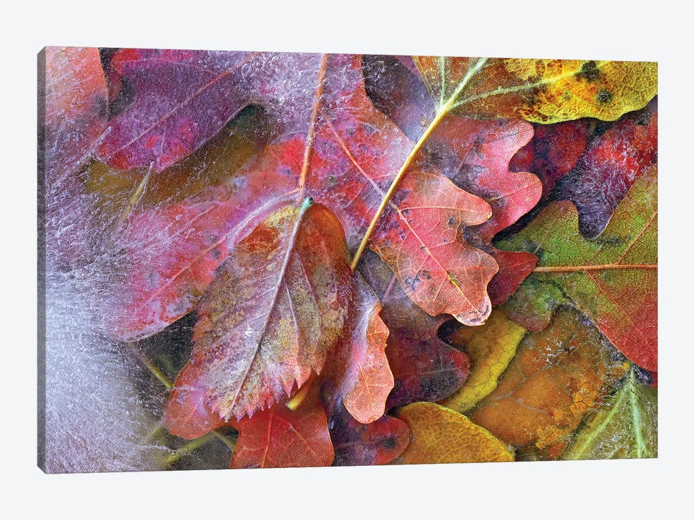 Frozen Autumn Leaves, North America by Tim Fitzharris 1-piece Canvas Wall Art