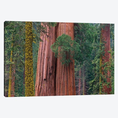Giant Sequoia Trees, California Canvas Print #TFI390} by Tim Fitzharris Canvas Wall Art